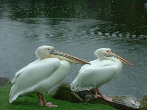 Pelicans at Fota, photo by Mark Reilly