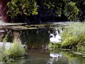 Swans at Birr, by IrishFireside