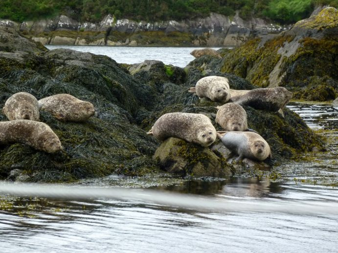 Glengarriff seals